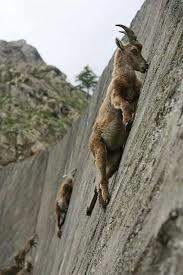 alpine ibex climb